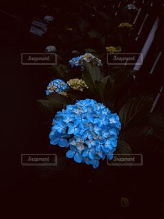花,青,紫陽花,朝方,アジサイ