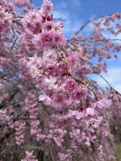 風景,花,春,屋外,ピンク,満開,樹木,草木,桜の花,さくら,ブロッサム