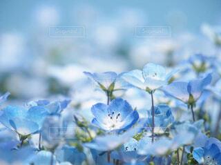 自然,花,屋外,ネモフィラ,草木,液滴