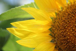花,ひまわり,flower,草木,夏先取り,クローズ アップ