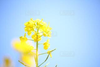 菜の花、春の香りの写真・画像素材[4477902]