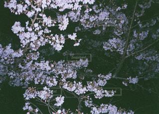 桜,屋外,樹木,フィルムカメラ,草木,ブレブレ
