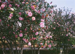 花,バラ,椿,薔薇,草木,ガーデン,フローラ