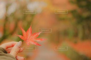 紅葉とネイルの写真・画像素材[1611693]