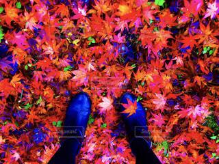紅葉の絨毯🍁の写真・画像素材[1611854]