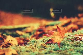苔と紅葉の写真・画像素材[1611894]