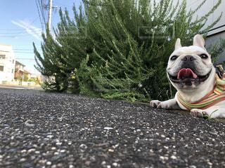 家族,犬,空,パグ,動物,フレンチブルドッグ,ブルドッグ,屋内,屋外,かわいい,散歩,茶色,景色,樹木,ペット,寝る,人物,人,座る,ソファ,地面,子犬,睡眠,目,見つめる,ボクサー,座席,ベッド,ドッグカフェ,探す,犬種,着衣,犬の服,鼻面,スポーツグループ,犬の首輪