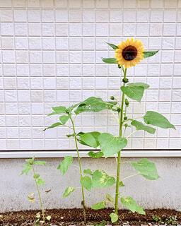 花,夏,屋外,ひまわり,地面,草木