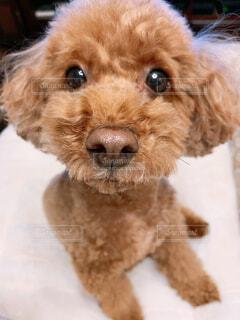 犬,動物,屋内,かわいい,茶色,座る,子犬,プードル,テリア