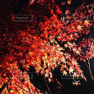 秋,夜,紅葉,葉,樹木,草木,カエデ