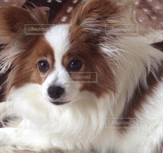 家族,犬,動物,屋内,白,かわいい,茶色,女の子,仲良し,ペット,リラックス,可愛い,パピヨン,鼻,愛犬,目,大好き,メス,お家,小型犬,カメラ目線,愛してる,口,耳,ミルキー