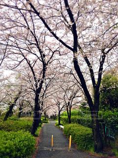 散歩,ベンチ,桜並木,hinakunmama,鈴が峰公園,広島市西区,散り始める前に