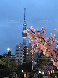 桜の写真・画像素材[582774]