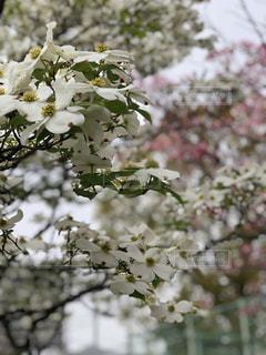 ♡ 花のまわりみち にて♡  桜の中で白く綺麗に咲いてました   2018.4.17.撮影の写真・画像素材[1135597]