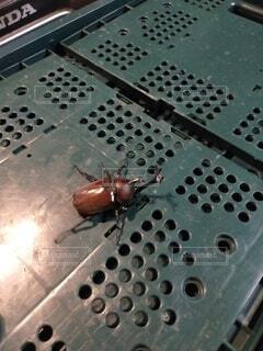 動物,屋内,昆虫,カブトムシ,カゴ