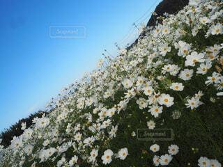 空,花,屋外,白,コスモス