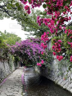 糸川遊歩道のブーゲンビリアの写真・画像素材[4550696]