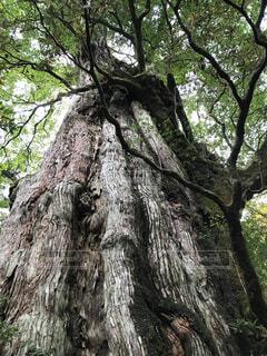 堂々とした屋久島の杉の写真・画像素材[4558613]