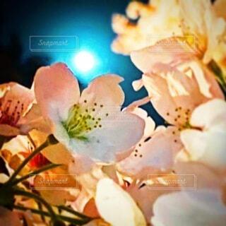 自然,風景,空,桜,花見,夜桜,月,桜見