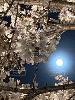 自然,風景,空,花,桜,花見,夜桜,月,満月,ブロッサム,桜見,4月の満月