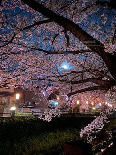 自然,風景,空,花,桜,屋外,花見,夜桜,樹木,月,満月,桜見,4月の満月