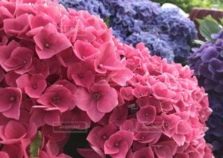 花,雨,ピンク,紫陽花,梅雨,6月,草木