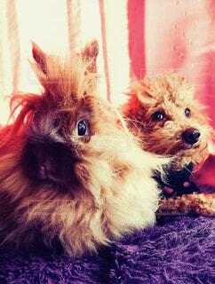 犬,動物,うさぎ,屋内,かわいい,景色,仲良し,ペット,トイプードル,ライオンラビット