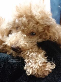 犬,動物,屋内,白,かわいい,茶色,室内,リラックス,プードル,トイプードル,眠い,テリア,ラブラドゥードル
