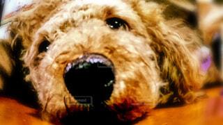 犬,動物,屋内,茶色,室内,プードル,トイプードル,暇,退屈