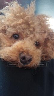 犬,動物,屋内,かわいい,茶色,プードル,退屈そうな犬