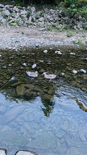 自然,夏,動物,カップル,鳥,屋外,湖,川,反射,仲良し,岩,夫婦,鴨,カモ