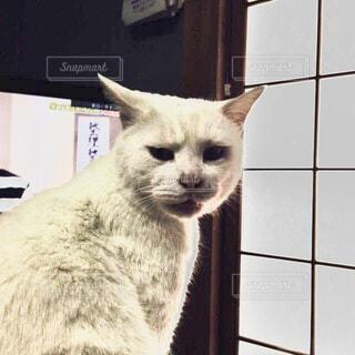猫,ねこ,怒る,顔,怖い,表情,睨む,ネコ,怖い顔,ヤクザ