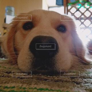 犬,動物,屋内,かわいい,ペット,ゴールデン・レトリバー,見つめる,なでて?