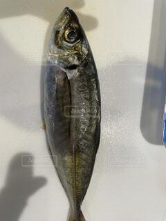 捌かれる魚の写真・画像素材[4470729]