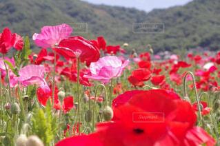花,花畑,屋外,植物,赤,草,ポピー,ポピー畑,草木