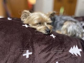 犬,動物,屋内,白,景色,寝転ぶ,子犬,ヨークシャーテリア,ヨーキー,寝ている犬