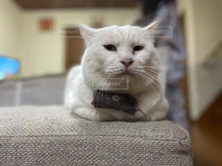 猫,動物,屋内,白,かわいい,白猫,座る,ネコ科