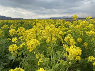 花,春,屋外,緑,黄色,菜の花,景色,アブラナ,草木,なのはな,菜種,アブラナ科,種子植物