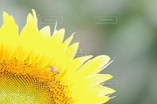 花,夏,ひまわり,ミツバチ,草木