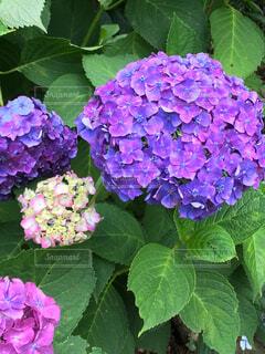 花,屋外,緑,あじさい,葉,紫陽花,草木,フローラ