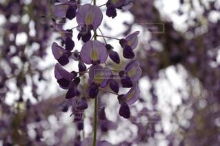 藤の花の写真・画像素材[4476100]