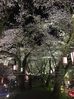 桜,夜桜,満開,ライトアップ,福井,足羽川