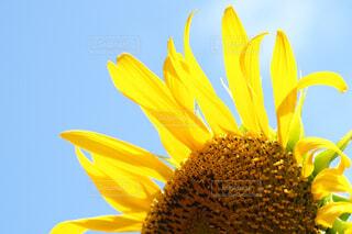 花,夏,ひまわり,青空,晴天,黄色,初夏,草木