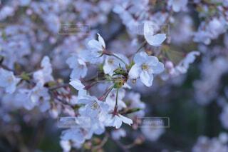 花,春,桜,ピンク,季節,景色,桜の花,桜の木,さくら,ブロッサム