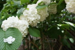 スノーボール、花、花びら、緑、白、あじさい、似てる、植物、花弁、
