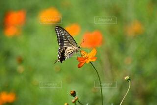 自然,花,動物,オレンジ,ビタミンカラー,昆虫,蝶々,蝶,草木,花粉媒介,蛾や蝶
