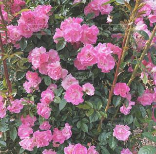 自然,花,屋外,ピンク,バラ,花びら,草木,ガーデン,フローラ