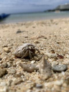 海,夏,動物,屋外,砂,ビーチ,かわいい,晴れ,青空,青,砂浜,貝殻,沖縄,地面,夏休み,カニ,驚き,トカゲ,爬虫類,ヤドカリ,びっくり,映え,ギョロ目