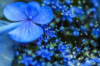 自然,花,植物,あじさい,青,花びら,紫陽花,ブルー,おしべ,梅雨,クローズアップ,草木,めしべ
