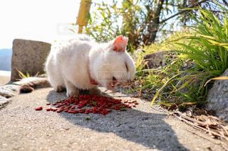 猫,動物,食事,白,晴れ,景色,子猫,旅,快晴,島猫,香川,日向ぼっこ,エサ,野生,女木島
